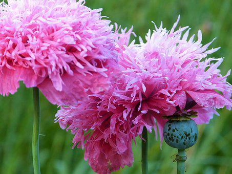 Poppy, Poppy Flower, Plant, Garden, Bed, Pink, Beauty