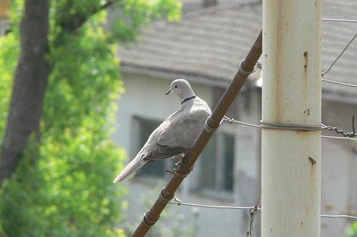 Streptopelia Decaocto, Giving, Bird, Collared Dove