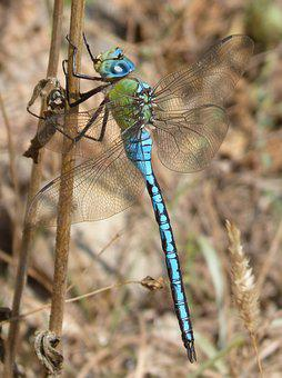 Dragonfly, Dragonfly Large, Blue Dragonfly