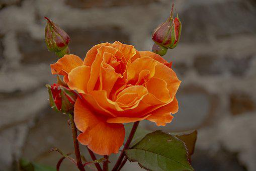 Rose, Flower, Bloom, Nature, Petals, Buds, Orange