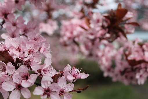 Cherry Blossom, Tree, Nature, Spring, Colorful