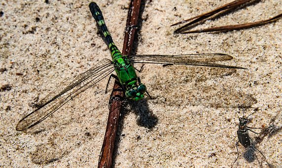 Dragonfly, Wings, Insect, Bug, White-spotted Wing