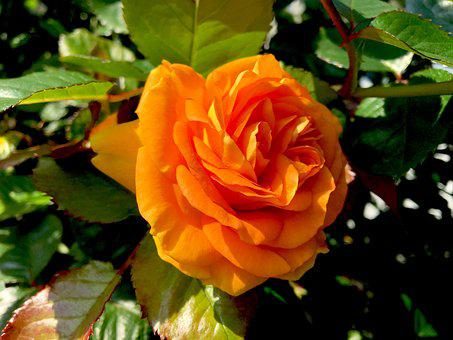 Rose, Flower, Orange, Rose Bloom, Garden, Plant, Leaves