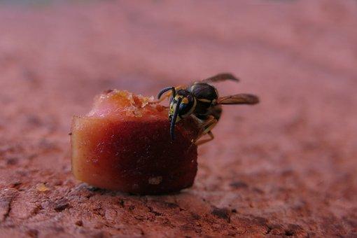 German Wasp, Vespula Germanica, Food, Nature, Animal