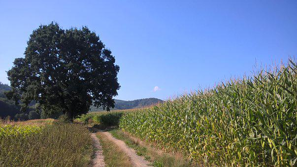 Tree, Forest Path, Cornfield, Nature, Away, Landscape