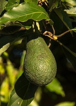 Wurtz Avocado, Tree, Avocados, Wurtz, Health, Fruit