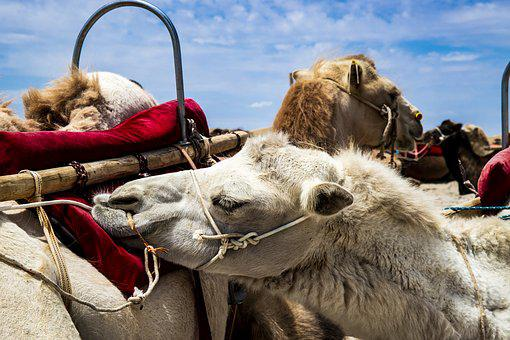 Camel, White, Animal, Mammal, Lama, Fur, Brown