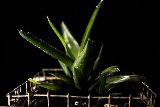 Plant, Savila, Nature, Flowerpot, Green, Flora, Garden