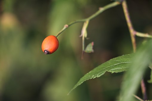 Dog Rose, Red, Green, Summer, Meadow, Leaf, Rural