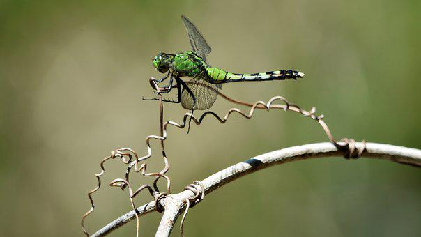 Insect, Dragonfly, Swamp, Nature, Animal, Wings, Green
