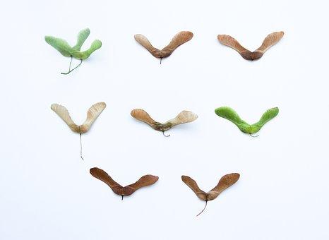 Acer, Maple, Tree, Autumn, Green, Nature, Samara, Wings
