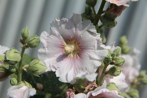 Pink Trémiére, Hollyhock Pink, Flowering, Brittany