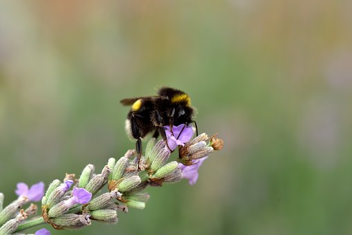Hummel, Lavender, Insect, Nature, Blossom, Bloom