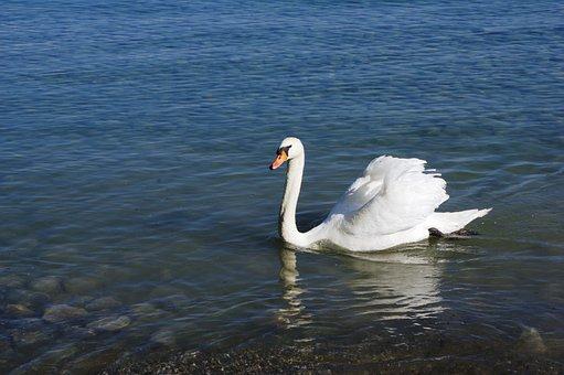 Swan, Lake, Water, Animal, Nature, Water Bird, Bird