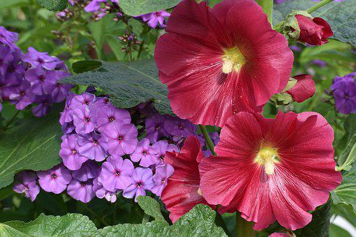 Flowers, Bright, Stock-rose, Phlox, Color, Nature