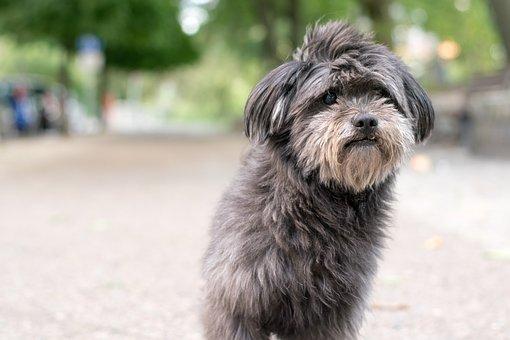 Dog, Bitch, Male, Animal, Pet, Purebred Dog, Fur, Snout