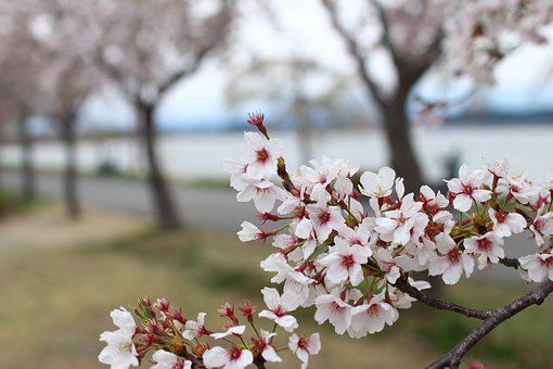 Cherry Blossom, Spring, Flowers, Pink, Wood, Nature