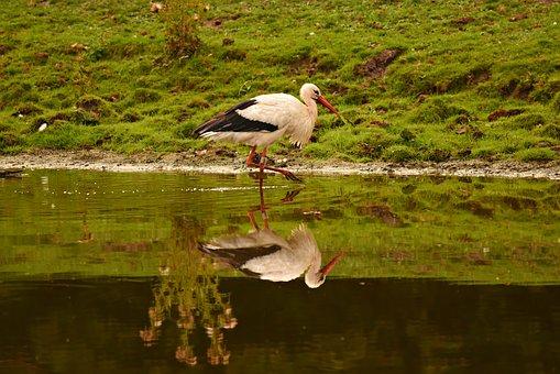 Stork, Wading Bird, Animal, Wildlife, Plumage, Feathers