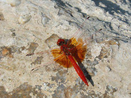 Red Dragonfly, Detail, Rock, Winged Insect