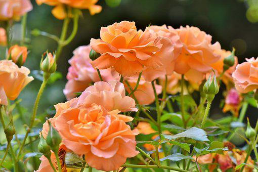 Roses, Rosenstock, Rose Bloom, Orange, Petals, Blossom