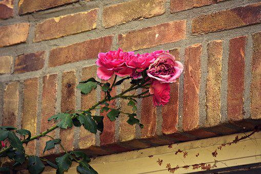 Rose, Flower, Plant, Wall, Window Casing, Pink, Blossom