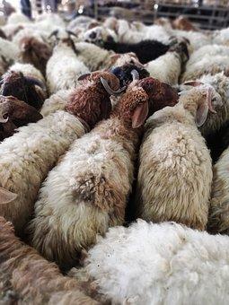 Eid, Eid Mubarak, Islamic, Sheep, Animals, Lamb, Wool