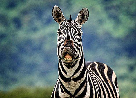 Zebra, Animals, Africa, Strips, Safari, Nature