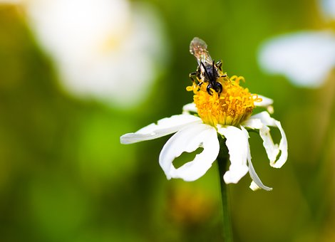 Marguerite, Fly, Earth Wasp, Insect, Summer, Close Up