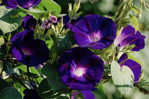 Superb Thread, Violet, Climber Plant, Morning Glory