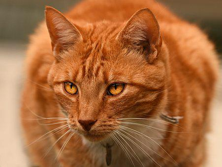 Ginger Cat, Tabby, Animal, Mammal, Feline, Pet, Fur