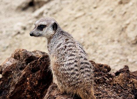 Meerkat, Animal, Mammal, Nature, Animal World