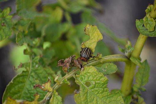 Colorado, Beetle, Pest, Potatoes, Haulm, Insect, Sheet