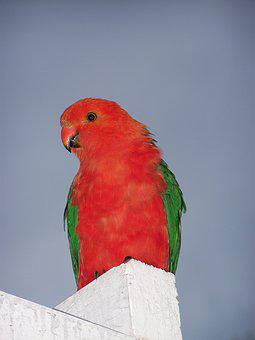 King Parrot, Bird, Parrot, Nature, Plumage, Blue King