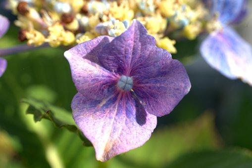 Hydrangea, Flower, Blossom, Bloom, Flora, Garden, Plant