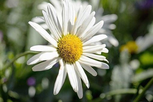 Margarite, Flower, Blossom, Bloom, Plant