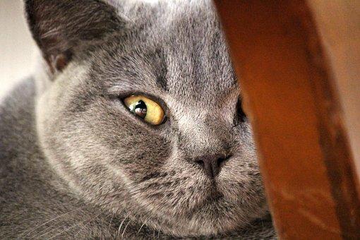 Chartreux, Cat, Animal Portrait, Cat Face, Animal