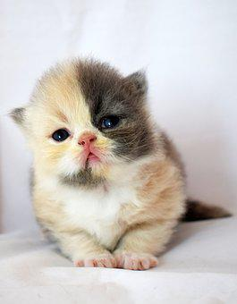 Baby Kitten, Pussy, Cat, Sladicka, A Pet, Fluffy