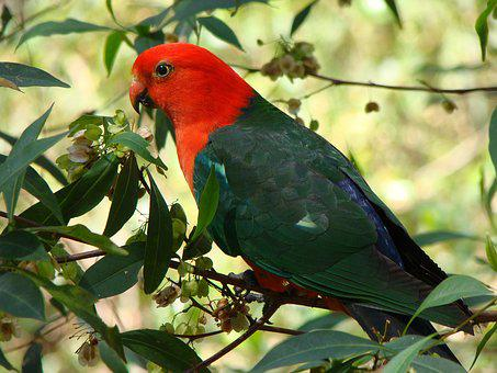 Parrot, Bird, King-parrot, Colorful