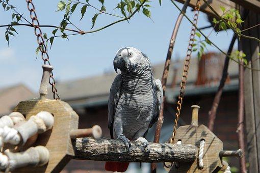Africangreyparrot, Grijzeroodstaart, Congo, Parrot