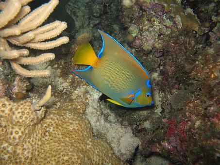 Fishes, Under Water, Angel, Fish, Diving, Marine, Reef