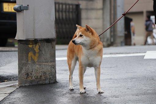 Shiba Inu, Dog, Pet, Purebred, Cute, Japan