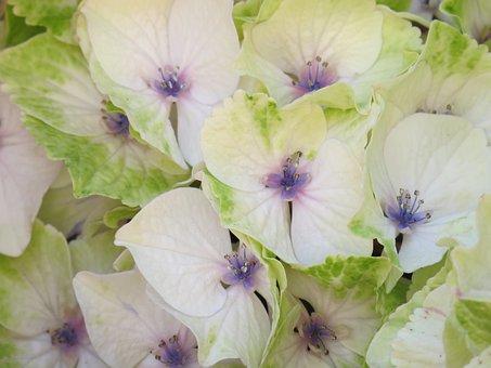 Hydrangea, Blossom, Bloom, Pink, Flower, Nature