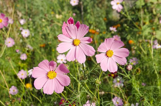 Flowers, Pink, Summer, Garden Cosmos, Mexican Aster
