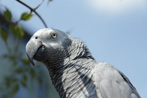 Africagreyparrot, Grijzeroodstraat, Congo, Parrot