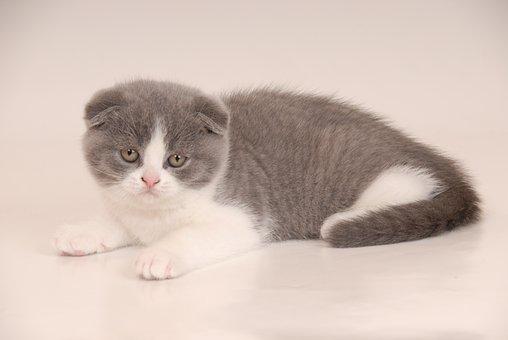 Scotish Fold, Fold, Blue White, Kittens