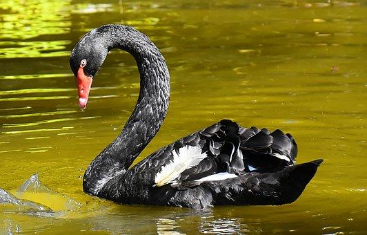 Swan, Black, Water Bird, Elegant, Lake, Animal, Nature