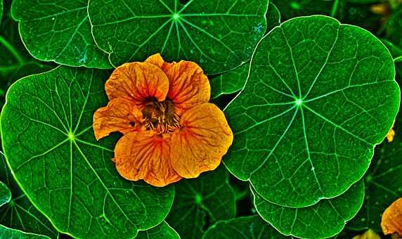 Nasturtium, Blossom, Bloom, Leaves, Flower, Orange