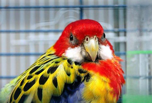 Rosella, Parrot, Bird, Feathers, Animals, Living Nature