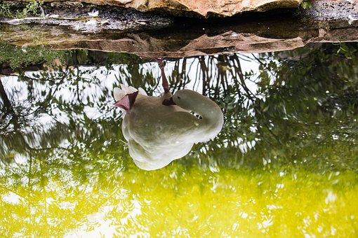 Coscoroba Swan, Swan, Magpie, Animal, Animal World