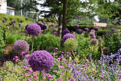 Allium, Plant, Ornamental Onion, Violet, Garden